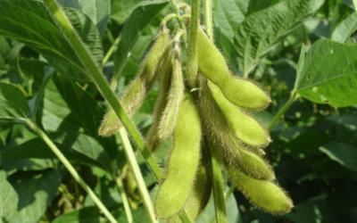 Svar på alle dine spørgsmål om soya